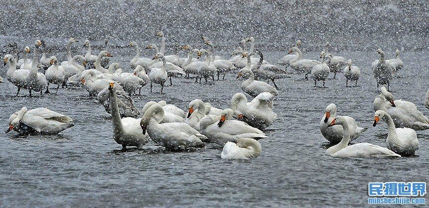 冰雪荣成天鹅摄影团-一次与天鹅共舞的盛宴