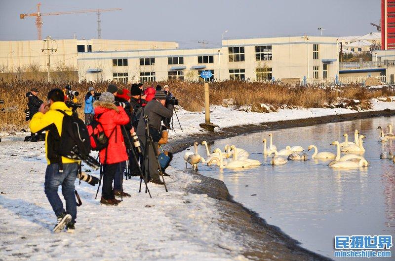 民摄世界 冰雪荣成天鹅摄影团-一次与天鹅共舞的盛宴
