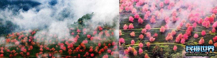 中国最美樱花摄影团-含大理古城-腾冲银杏古城-八卦太极峡谷雪山-独龙族纹面